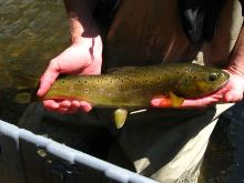 Technician holding large wild brown trout captured during Mud Creek survey.