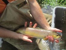Technician holding 18 inch wild brown trout from N. Branch Wiscoy Creek.