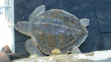 Kemp's ridley sea turtle, photo by NOAA