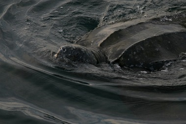 leatherback sea turtle, photo by NOAA