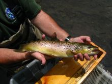 Biologist holding wild brown trout from Oatka Creek.