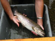 Wild 20.7 inch brown trout from Prendergast Creek survey.