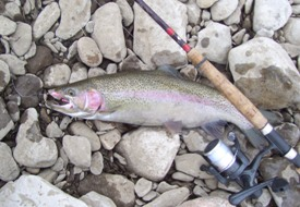 A nice steelhead laying on a rocky bank.
