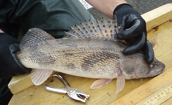 Image of sauger caught in Lake Champlain