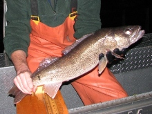 Fisheries technician holding walleye captured during electrofishing survey.