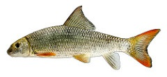 Image of a Smallmouth Redhorse