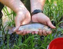 10 inch wild brook trout from Spring Mills Creek