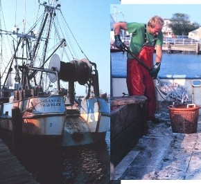 commercial fishing boat and fisherman offloading loligo