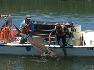 Hudson River Fisheries Unit staff lifting an Atlantic sturgeon into the boat
