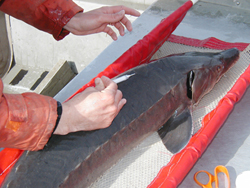 Picture of inserting a PIT tag into a lake sturgeon