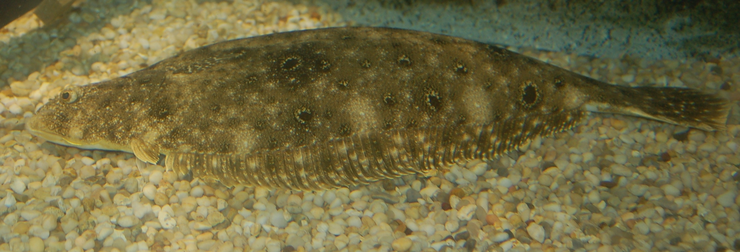 summer flounder resting on a pebbly bottom