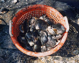 a basket of live surfclams