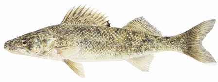 Walleye Image
