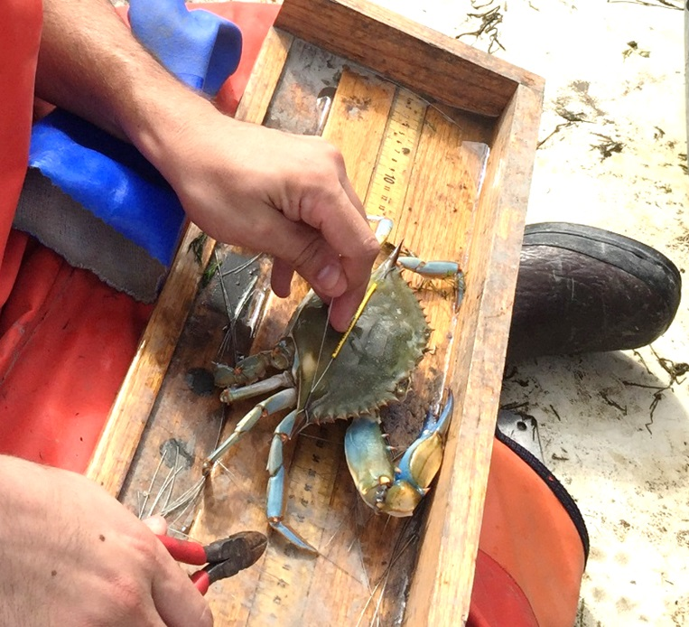 Blue crab being tagged