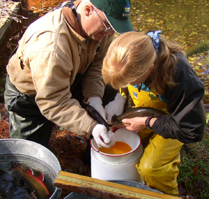 Taking brook trout eggs