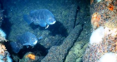 two tautog on a Long Island reef