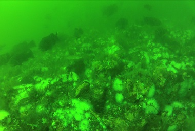tautog aggregation on Atlantic Beach Reef rockpile