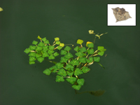Water chestnut plant with a picture of a water chestnut nut in the upper right hand corner.