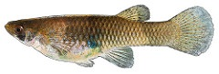 Image of a Western Mosquitofish