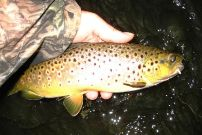 Wiscoy Creek wild brown trout.