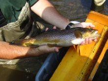 Nineteen inch wild brown trout captured during Wiscoy Creek electrofishing survey.
