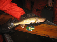 Processing a walleye for management purposes.