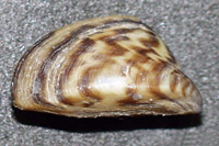 Image of a zebra mussel