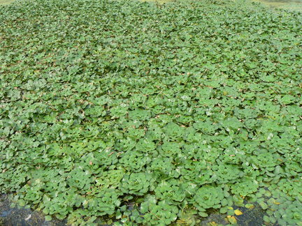 Dense mat of water chestnut plants