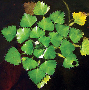 Rosette of water chestnut leaves floating on water
