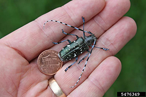 An Asian Longhorned Beetle on someone's hand with a penny for scale
