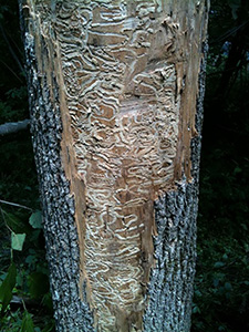 larval galleries on ash tree
