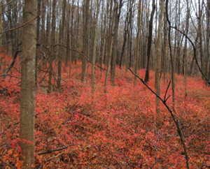 A young forest with a thick growth of barberry beneath