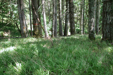 slender false brome across forest floor