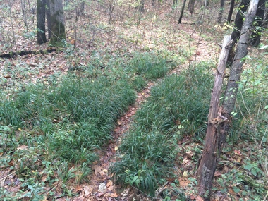 slender false brome along a trail