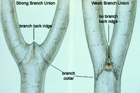 Care and pruning of damaged trees nys dept of environmental pruning cut diagram ccuart Image collections
