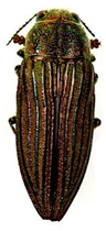 Metalic wood borer Buprestis striata