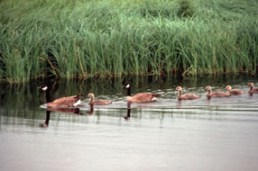A picture of Canada geese swimming in a line on a pond
