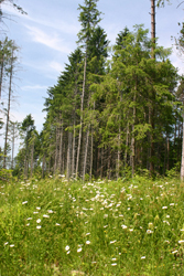 Young Pine Trees at Covenrtry State Forest