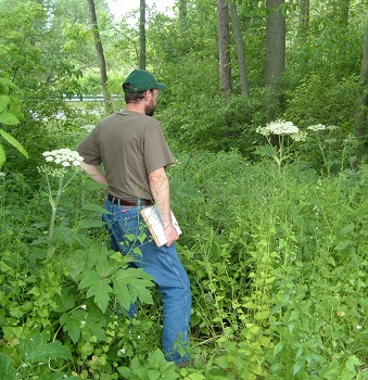 cow parsnip with person for scale