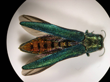 image of emerald ash borer showing a coppery red upper abdomen