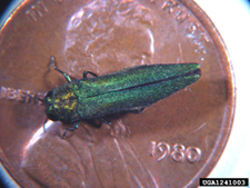 image of EAB on a penny to show size