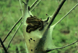 eastern tent caterpillars on tent & Tent Caterpillars - NYS Dept. of Environmental Conservation