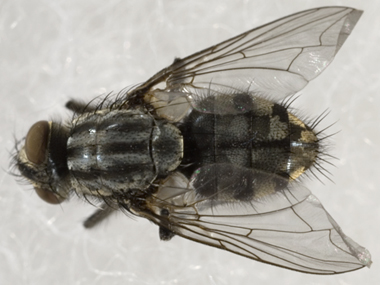 Sarcophaga aldrichi friendly fly & Friendly Flies - NYS Dept. of Environmental Conservation