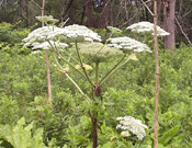 giant hogweed umbrella shaped flower cluster