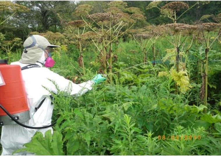 Field technician spraying giant hogweed plants with a glyphosate based herbicide.