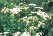 Poison hemlock flowers - small and white arranged in numerous flat-topped clusters on all branches