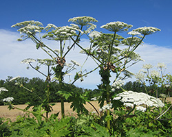 Giant hogweed plants standing approximately 10 feet tall