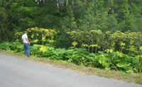 Giant hogweed along a roadside