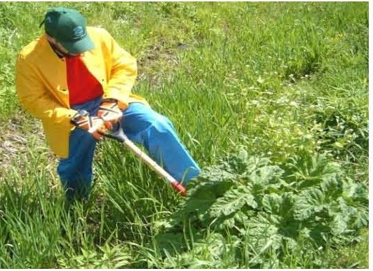 Giant hogweed root cutting being performed by a field technician.