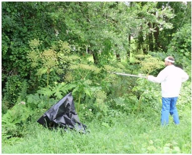How To Control Giant Hogweed Nys Dept Of Environmental Conservation